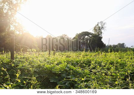 Bitter Gourd Field On Sunny Day With Sky