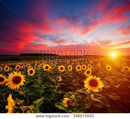 Majestic scene of vivid yellow sunflowers in the evening. Location place Ukraine, Europe. Photo of creativity concept. Agrarian industry. Perfect summertime wallpaper background. Beauty of earth.