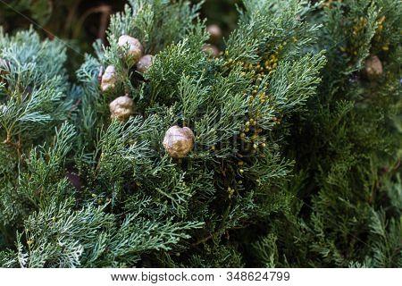 Texture of Italian Cypress (Cupressus sempervirens), closeup view background.
