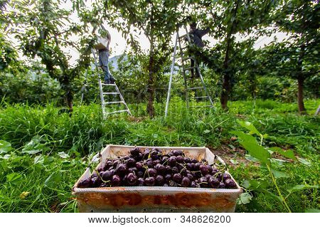 A Full Bucket Of Freshly Picked Black Sweet Cherries On The Ground And Seasonal Farm-workers Picking