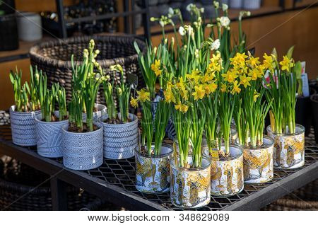 Potted Narcissus, Tazetta Daffodils Division 8 Avalanche Flowers Blooming In The Garden Shop In Spri