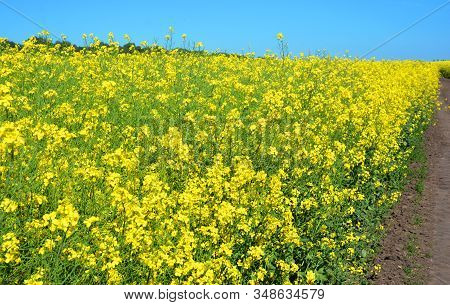 Rapeseed (brassica Napus), Also Known As Rape, Oilseed Rape  Field With Country Road. Rapeseed Bloss