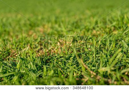 Green Grass On A Lawn Close-up Nature Background. Lawn Grass Turf Texture