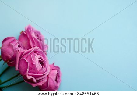Beautiful Pink Pion-shaped Rose. Bouquet Shrub Roses On Blue Background. Copy Space