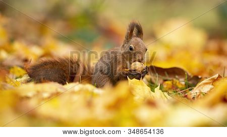 Watchful Red Squirrel Feeding Himself With A Walnut In The Middle Of The Autumn Leaves