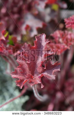 Coral Bells Melting Fire Leaves - Latin Name - Heuchera Americana Melting Fire