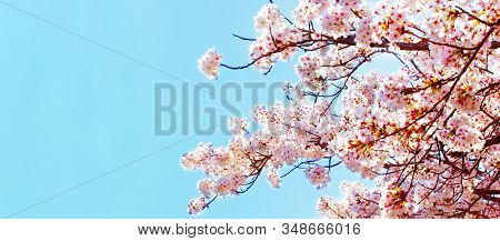 Beautiful Cherry Blossom Sakura In Spring Time Over Blue Sky.cherry Blossom In Full Bloom.copy Space