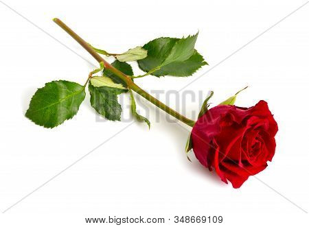 One Red Rose Isolated On White Background. Full Dept Of Field