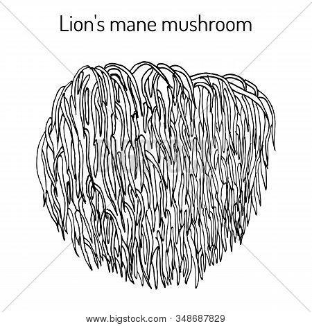 Lion S Mane Mushroom Hericium Erinaceus , Edible And Medicinal Plant. Hand Drawn Botanical Vector Il