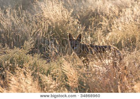 Black-backed jackal in Etosha National Park, Namibia poster