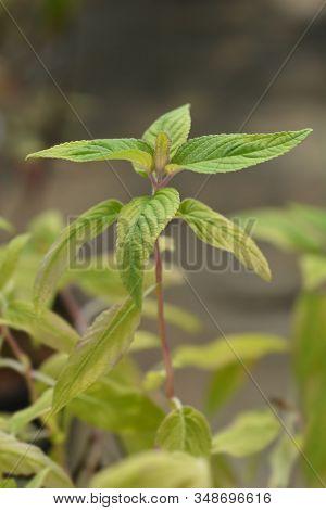 Pineapple Sage Ananas Leaves - Latin Name - Salvia Elegans Ananas