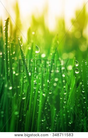 Young Green Grass With Dew Drops In Morning Sunny Lights. Beautiful Nature Landscape With Water Drop