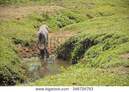 Hog Deer Is Drinking Water At National Park