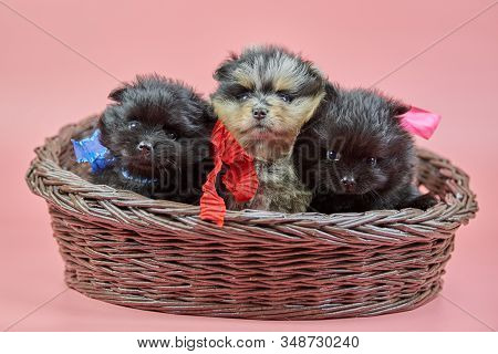 Pomeranian Spitz Puppies In Basket. Cute Fluffy Tri-colored And Black Spitz Dogs On Pink Background.