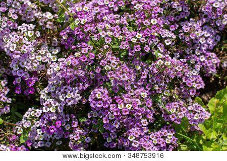Lobularia Blossom With Purple Lilac Small Flowers. Garden Ornamental Flowering Plant, Garden Decorat