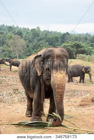 Pinnawala Elephant Orphanage Is An Nursery And Captive Breeding Ground For Wild Asian Elephants And
