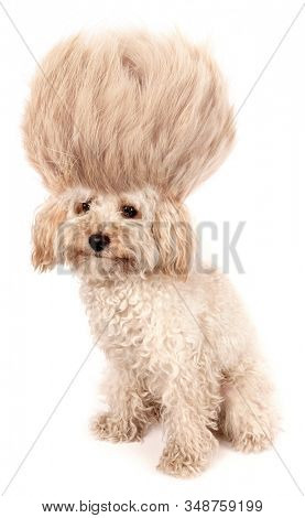 Crazy dog poodle puppy with funny haircut tuft wig hair isolated on white background