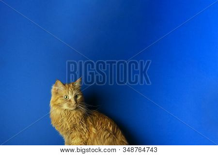 Red Cat On Blue Background Front View. Fluffy Domestic Animal On Turquoise Background. Adorable Feli