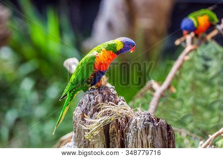 Parrots are sitting on the tree stump. Lori parrots - small, brightly colored in all colors of the rainbow, woody parrot. The concept of exotic and ecological tourism