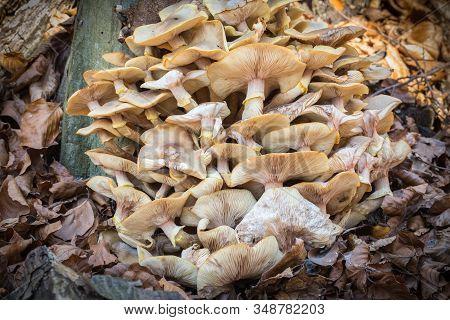 A Tasty Mushroom Armillaria That Grows On Tree Trunks. Seasonal Delicacy.