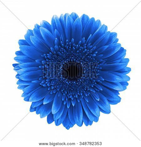 Blue Gerbera Daisy Flower Isolated On White Background With Clipping Path