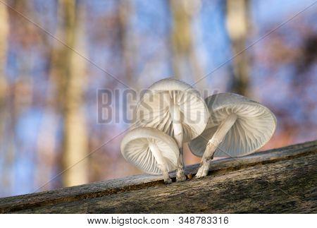 Inedible Fungus Mucidula Mucida That Grows On Tree Trunks.