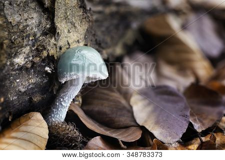 Edible Fungus Grows In A Deciduous Forest Under Beech Trees