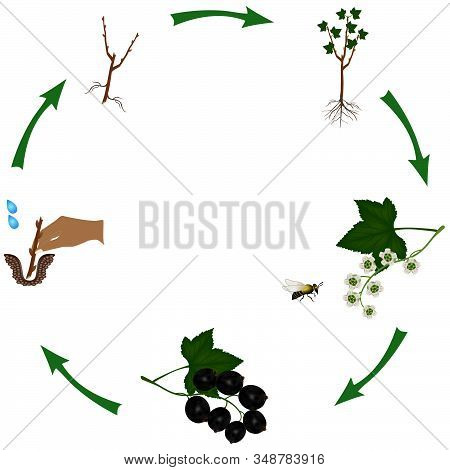 Life Cycle Of A Bush Of Currant Isolated On White.