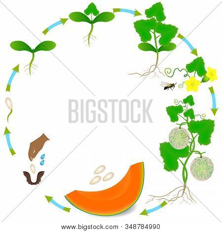 Life Cycle Of A Cantaloupe Melon Plant On A White Background.