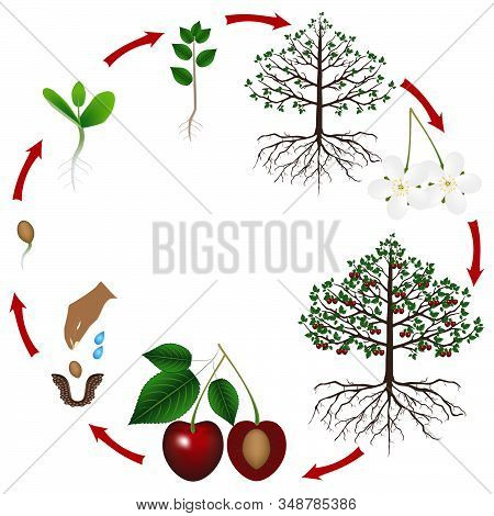 Life Cycle Of A Cherry Tree On A White Background.