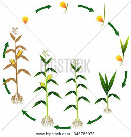 Life Cycle Of A Corn Plant On A White Background.