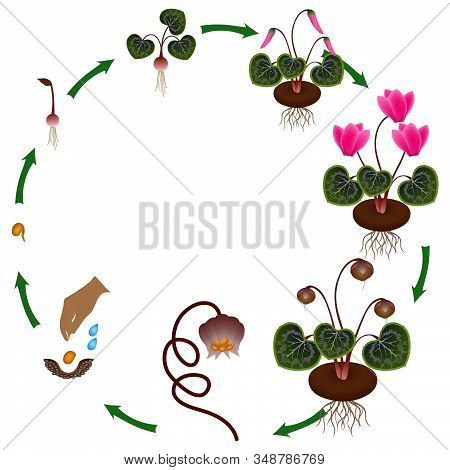 Life Cycle Of A Cyclamen Plant On A White Background.