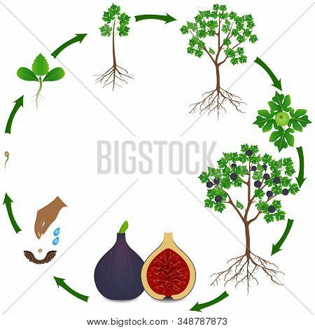 Life Cycle Of A Fig Tree On A White Background.