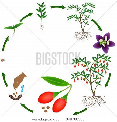 Life Cycle Of A Goji Berry Plant On A White Background.
