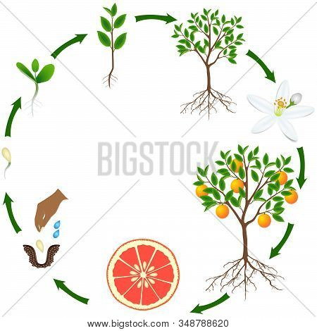 Life Cycle Of A Grapefruit Plant On A White Background.