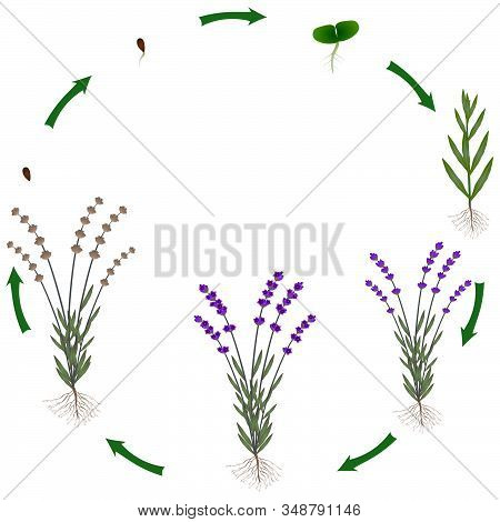 Life Cycle Of A Lavender Plant On A White Background.