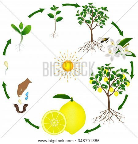 Life Cycle Of A Lemon Tree On A White Background.