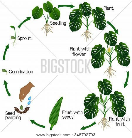 Life Cycle Of A Monstera Or Split-leaf Philodendron (monstera Deliciosa) Plant On A White Background
