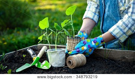 Woman Gardener hands in gardening gloves planting Sprouts in the vegetable garden. Spring garden work concept.