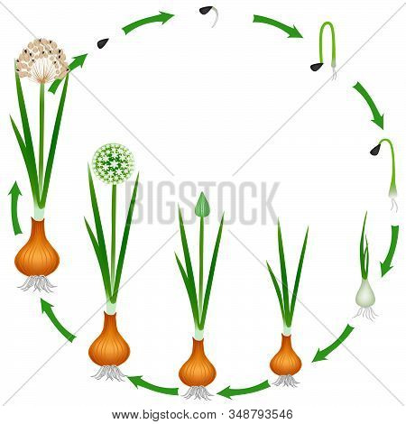 Life Cycle Of A Onion Plant On A White Background.