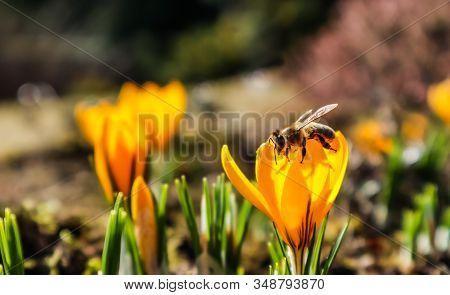 Beautiful Yellow Crocus Flowers With Bee In Spring Garden