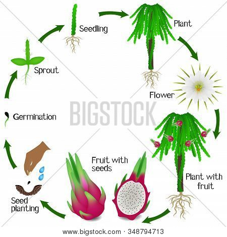 Life Cycle Of A Pitahaya Plant On A White Background.