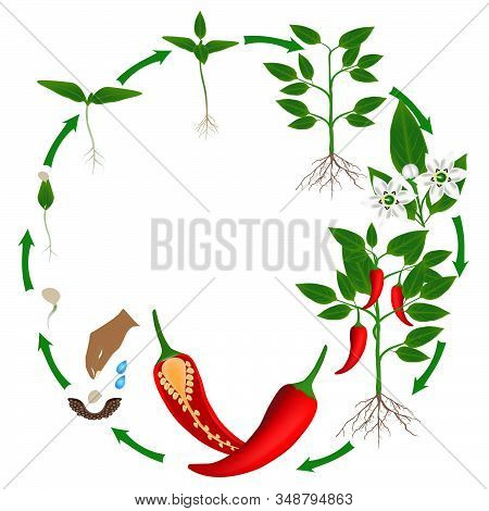 Life Cycle Of A Plant Of Chili Peppers On A White Background.