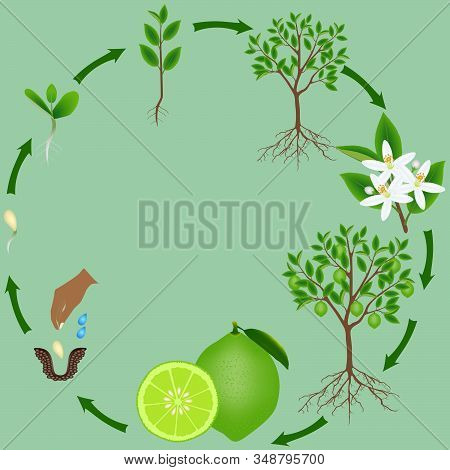 Life Cycle Of A Lime Plant On A Green Background.