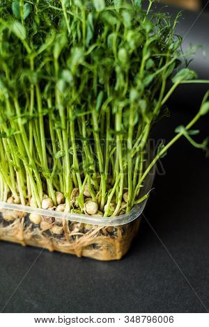 Grow Sprouts Of Micro Greens For A Healthy Salad. Eat Right, Stick To The Concept Of A Young And Mod
