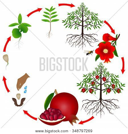 Life Cycle Of A Pomegranate Tree On A White Background.