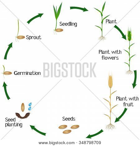 Life Cycle Of A Rye Plant On A White Background.