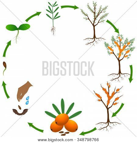 Life Cycle Of A Sea Buckthorn Plant On A White Background.
