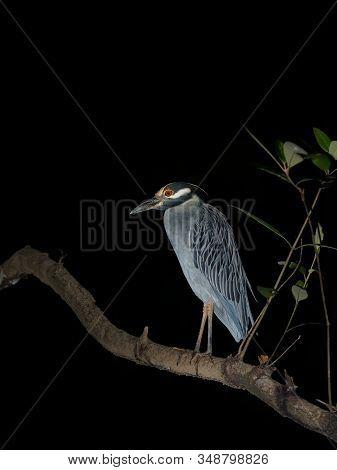 Yellow-crowned Night-heron - Nyctanassa Violacea Is Species Of Night Herons Found In The Americas, K