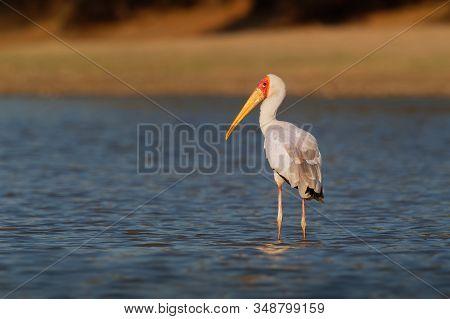 Yellow-billed Stork - Mycteria Ibis Also Wood Stork Or Ibis, Large African Wading Stork Species Fami